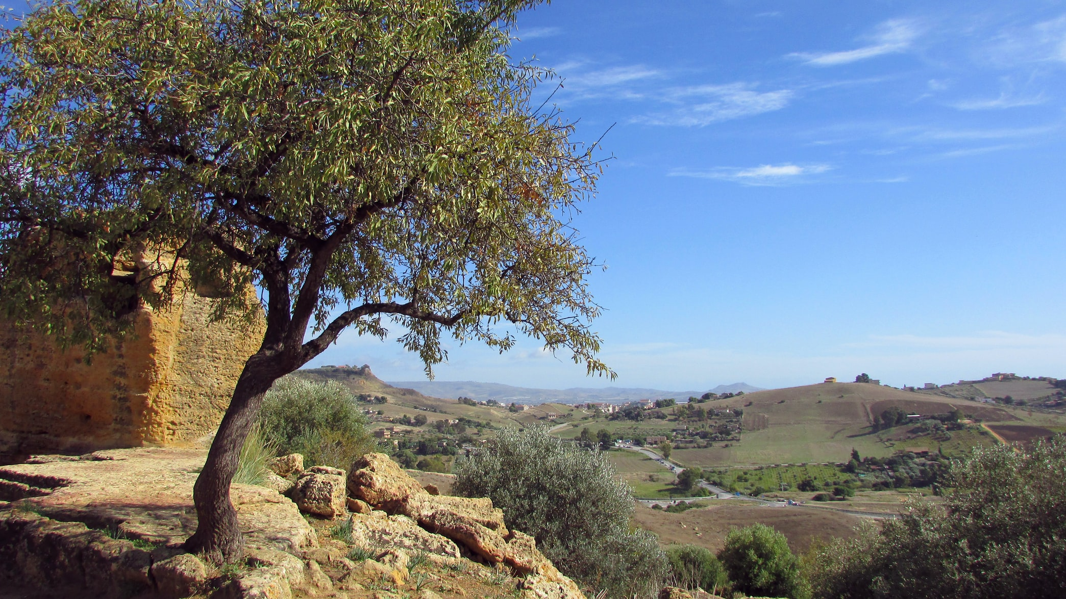 Olive tree with dry land in background